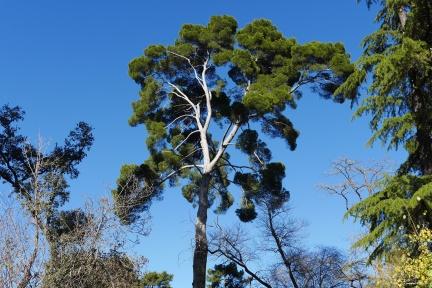 Copa de pino